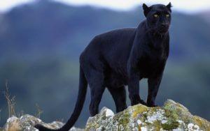 predatore nero